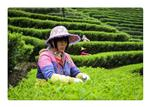 The making of Chinese tea